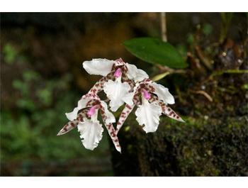 Biotopo orchid 13